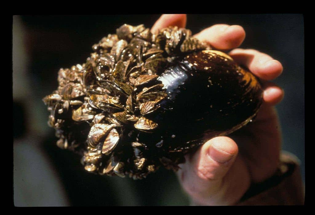 Zebra-mussels-on-mussel