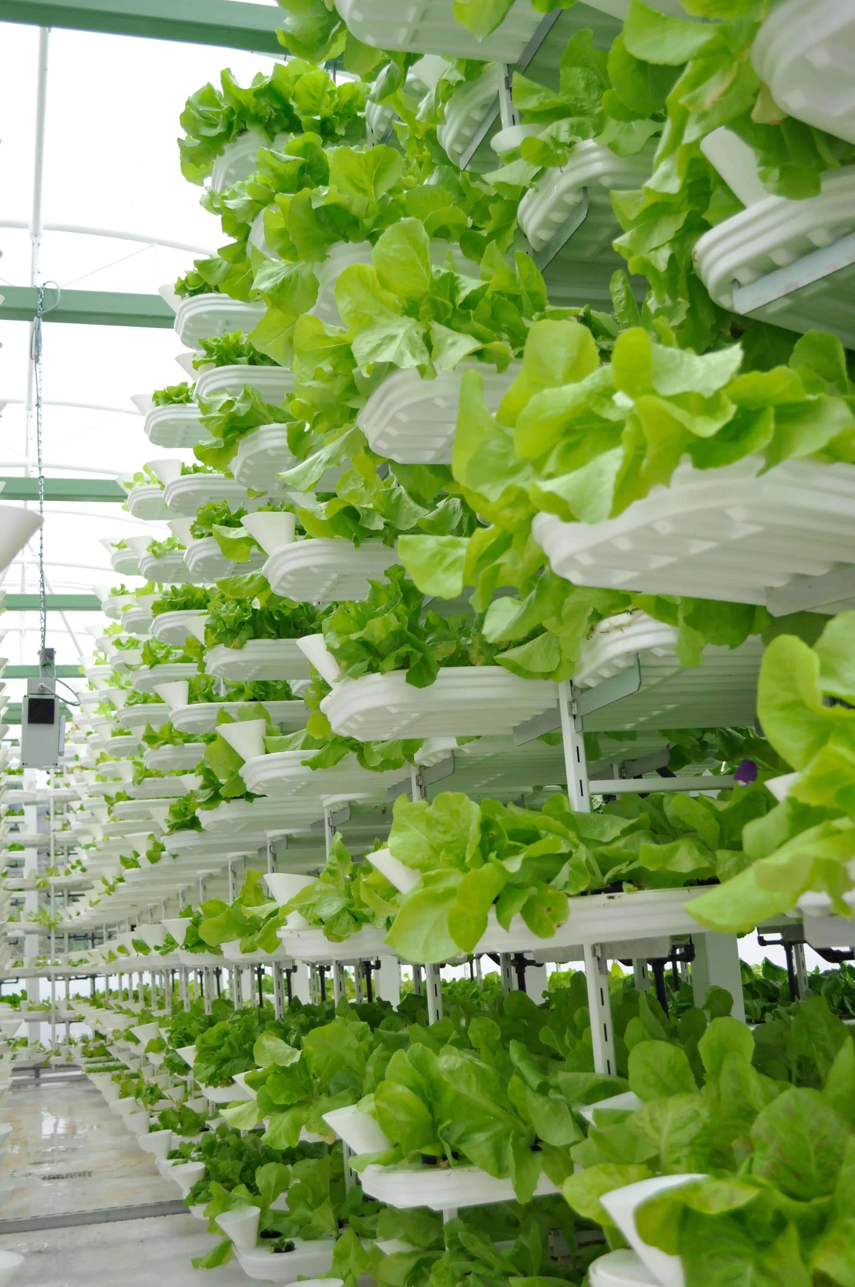 vertical lettuce farm Japan